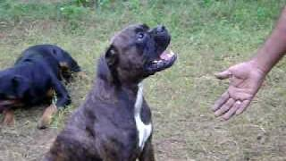 Che.kennels Rottweiler And Boxers Always Obeys All Commands.avi