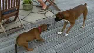 Red Staffordshire Bull Terrier Pup & Boxer play