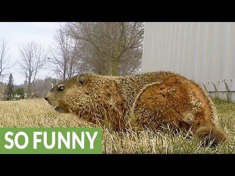 Hidden GoPro captures curious gopher's behavior