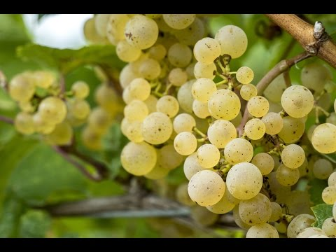 New York State Grape and Wine Extension Programs