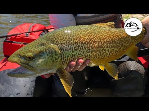 The BIGGEST Tiger Trout We've Ever Caught - Fly Fishing High Mountain Lakes