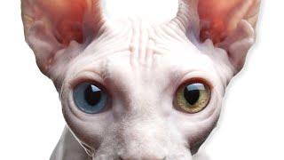 Staten Island Sphynx Cat Breeder Kills Gorgeous Sphynx Kitten - FAKE Staten Island Sphynx Cattery