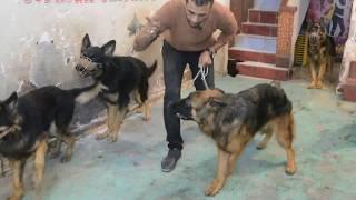 طريقه ازاله الخوف من الكلب قبل تدريبه على الشراسه // لم نتوقع ان هذه الكلبه تخاف بهذه الطريقة