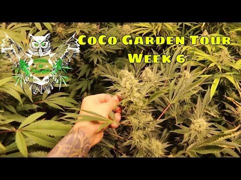Coco Garden Tour Week 6 | Weekly Garden Tour | Learn How to Grow Cannabis Marijuana