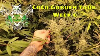 Coco Garden Tour Week 6 | Weekly Garden Tour | Learn How to Grow Cannabis Marijuana