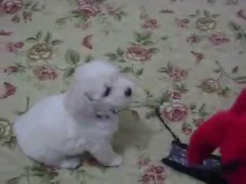 bichon freeze peleando con el perro rojo cliffor  YouTube