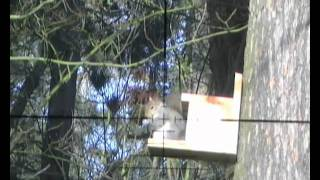 Shooting Squirrels On My Feeders.wmv