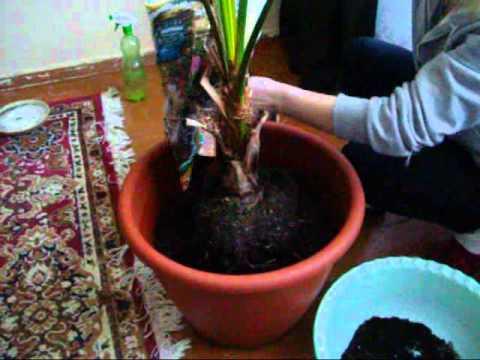 как правильно пересаживать пальму
