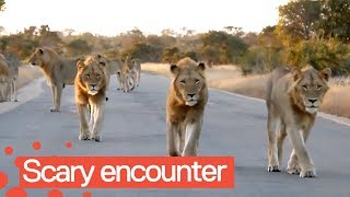 Tourist Has Incredible Encounter with Pride of Lions