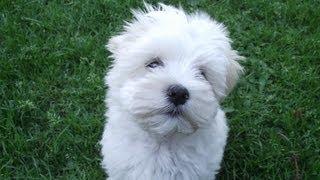 Malteser Hund - Benny #2