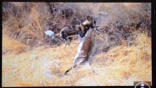 wild dog chase kill impala next to safari vehicle