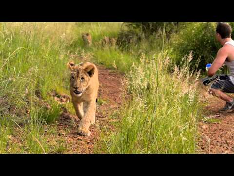 Living With Big Cats - Volunteer Southern Africa - 2015