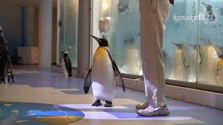 ペンギン王国で行われるイベント。ペンギンアカデミーの様子です。 1羽...