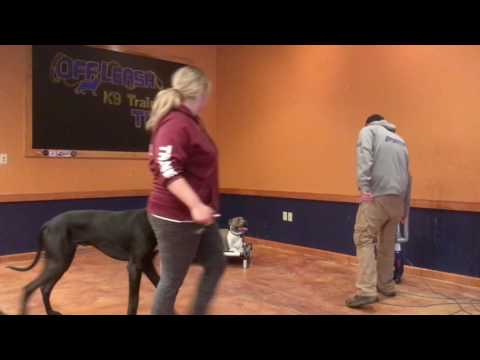 Toledo Dog Training: Anxious Pitbull, Zeus- Before and After Two Week Board and Train!