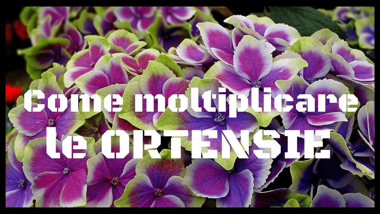 Come Curare Le Ortensie come moltiplicare le ortensie tramite talea