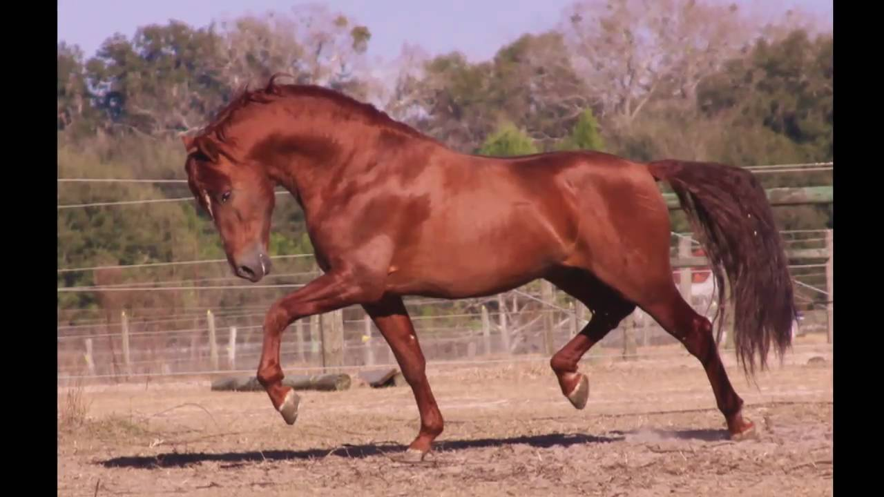 at stud garboso lxxxvii pre revised imported from