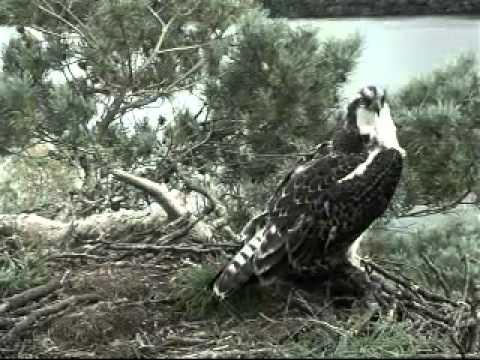 Blue44 comes to defend nest?  Stays one hour, around 3pm - Scottish Wildlife Trust