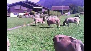 Hubsan x4 H107C Still stalking cows :)