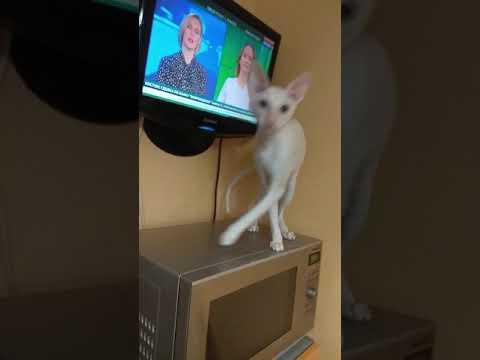 Белый голубоглазый котик Корниш рекс