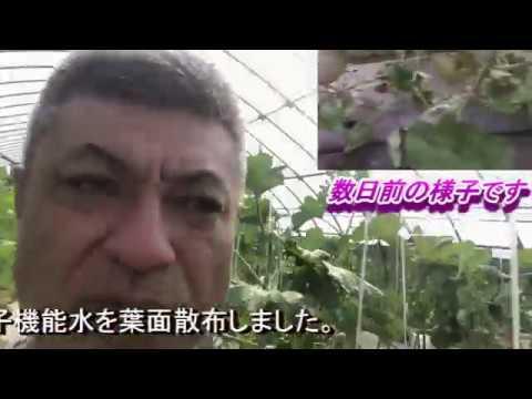 【緊急速報】特殊品種モネメロン栽培 ~奇跡の復活編~