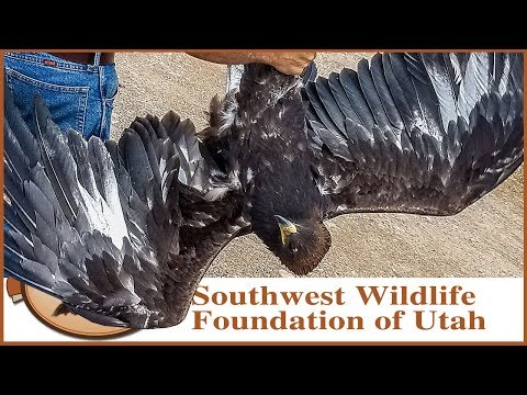 Two Golden Eagles Back to the Wild!  Rescue and Release