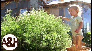 Harvesting chamomile (and sun drying it for herbal tea)