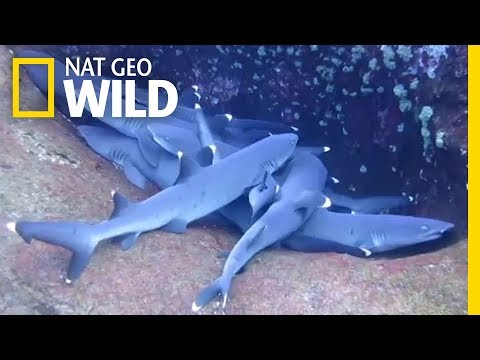 You Haven't Seen a Shark 'Sleep' Until Now | Nat Geo Wild