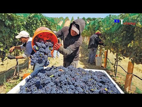 Harvest Wine Grape, Amazing New Agriculture Technology, Traditional Wine Making Processing