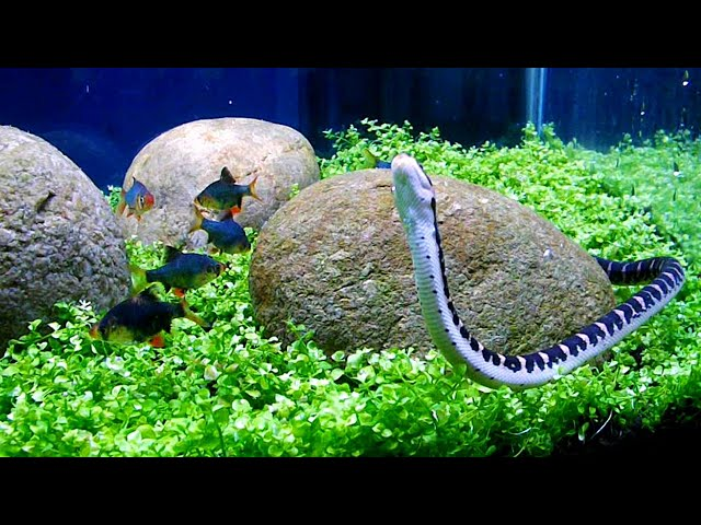 Aquascape Iwagumi Style With Monte Carlo Plant And River Stone Youtube