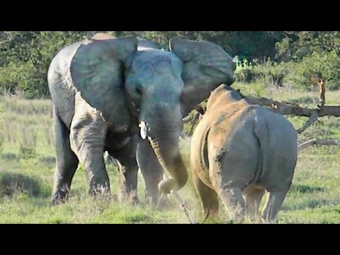 Thumbnail: Elephant Shows Rhino Who's Boss!