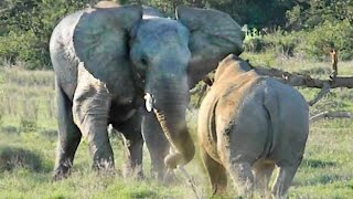 Elephant Shows Rhino Who's Boss! thumbnail