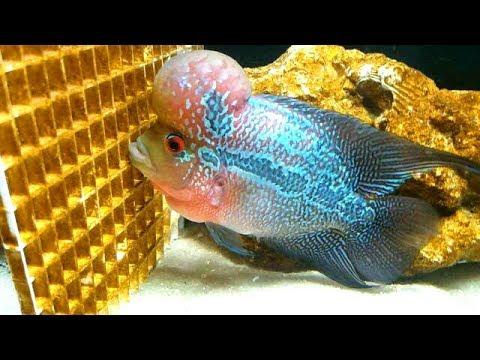 The most colorful aggressive aquarium fish youtube for Non aggressive fish