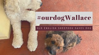 Old English Sheepdog rescues dog┃#ourdogWallace┃Ed&Mel