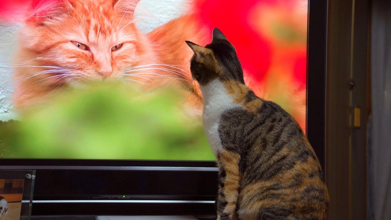 Cats love watching tv 50
