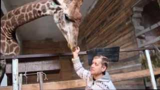 Новорожденный детеныш жирафа