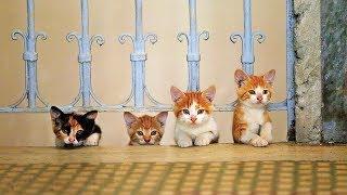 Kedi (Gatos de Estambul) - Trailer subtitulado en español (HD)