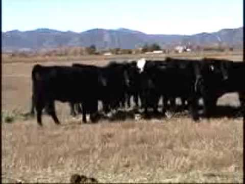 Cattle to auction Nov 4th