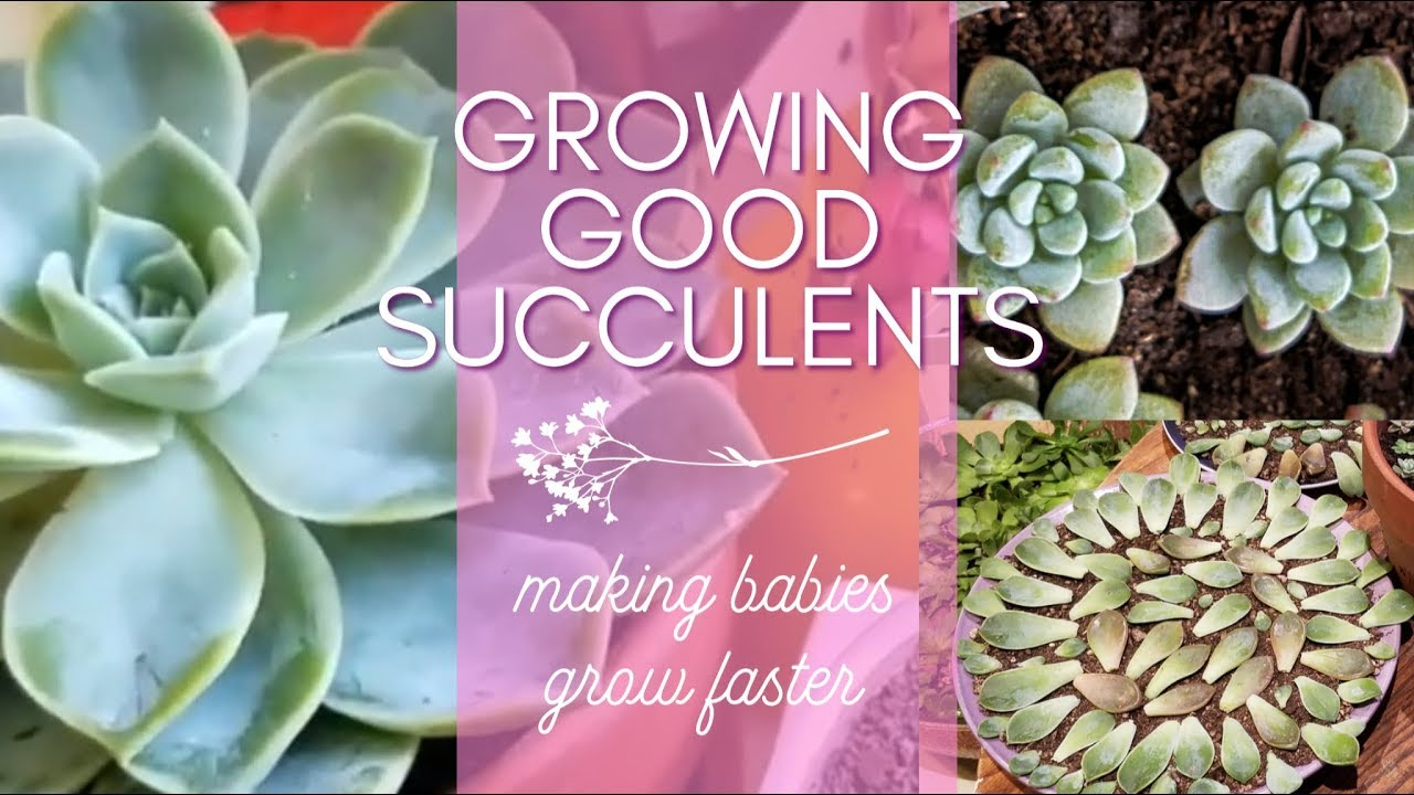 How To Make Baby Succulents Grow Faster Succulent Gardening