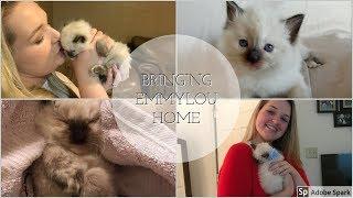 Bringing Home my Ragdoll Kitten!