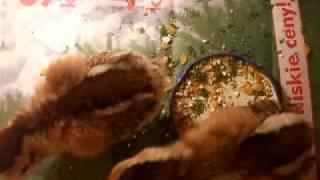 Zielononóżka kuropatwiana - 6 dniowe.