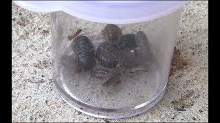 Jar Full Of PILLBUGS! Catching Bugs In Our Yard!