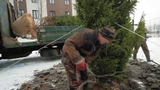 Живая ель в Veda Village - первом в России ЖК для вегетарианцев