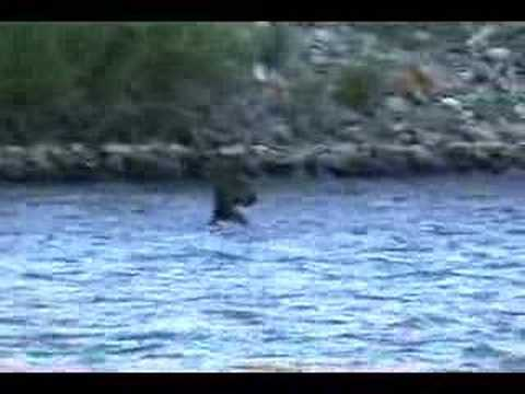 Moose Swimming the Yellowstone River