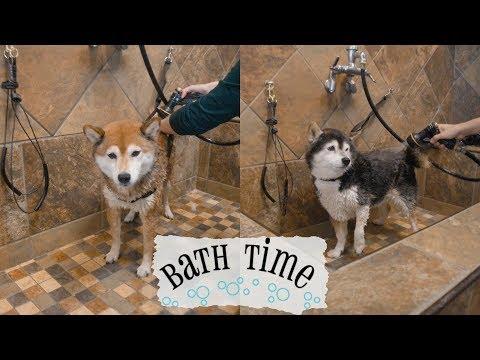 Shiba Inu Bath Time / Self Serve Dog Wash