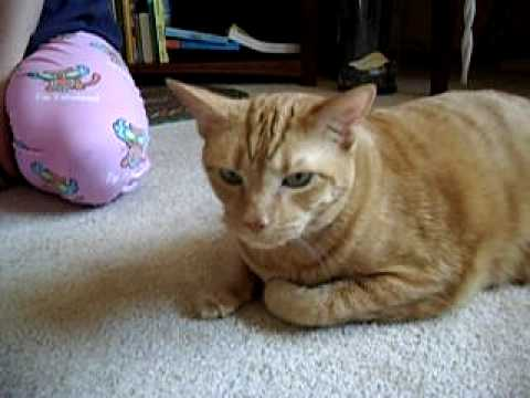 Astma u kota: jak ją rozpoznać i jak leczyć kocią astmę?