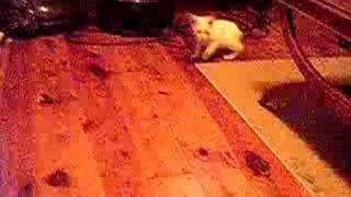 Cabbit Playing