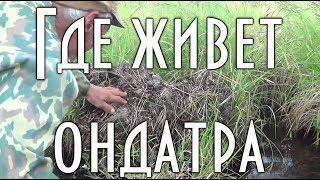 видео Ондатра. Ондатра в Мурманской области