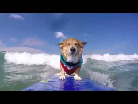 Surfing Corgi || ViralHog