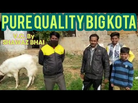 Top quality Big Kota Goats is Rehman Goat Farm, Cont-Akil Bhai, 91668 00142, Nafees Bhai, 9829420512