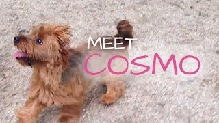 Meet Cosmo, Norfolk/yorkshire Terrier | Nani Dogwear At Nyc